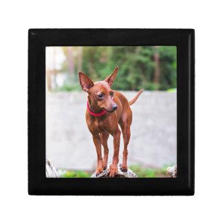 Portrait of red miniature pinscher dog gift box