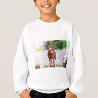 Portrait of red miniature pinscher dog sweatshirt