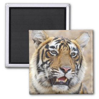 Portrait of Royal Bengal Tiger, Ranthambhor 2 Square Magnet