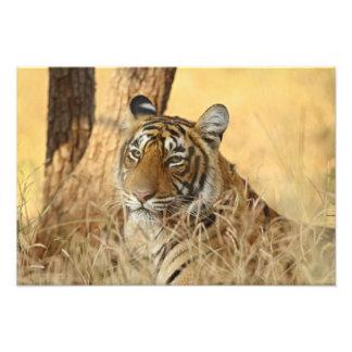 Portrait of Royal Bengal Tiger, Ranthambhor 5 Photograph