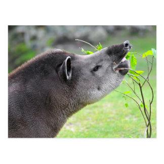 Portrait of south American tapir Postcard