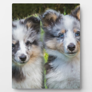 Portrait of two young sheltie dogs display plaque