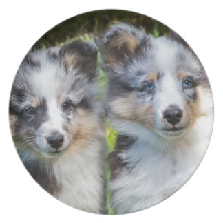 Portrait of two young sheltie dogs party plates