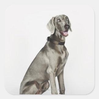 Portrait of Weimaraner dog Square Sticker