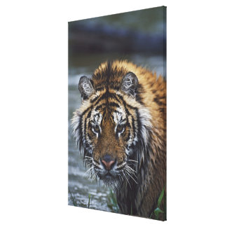 Portrait Of Wet Siberian Tiger Gallery Wrap Canvas