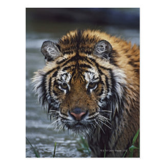 Portrait Of Wet Siberian Tiger Postcard