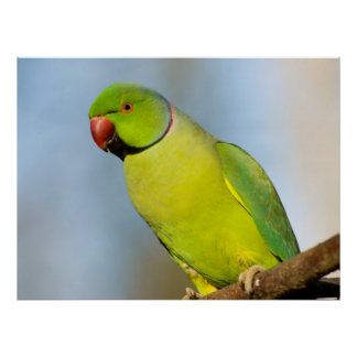 Portrait Rose-ringed Parakeet Poster