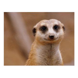 Posing Meerkat Postcard