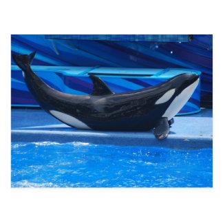 Posing Orca Postcard