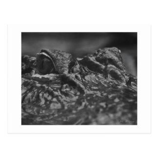 POST CARD American Alligator - North Carolina
