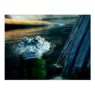 POST CARD American Alligator North Carolina