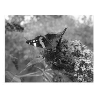 Postcard - Admiral Butterfly in Black & White
