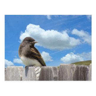 Postcard - Black Phoebe on Fence