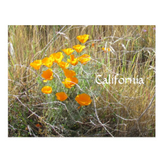 Postcard - California Poppy