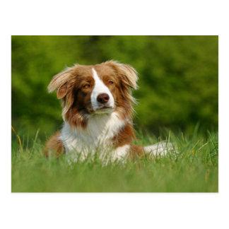Postcard/dogs border collie portrait