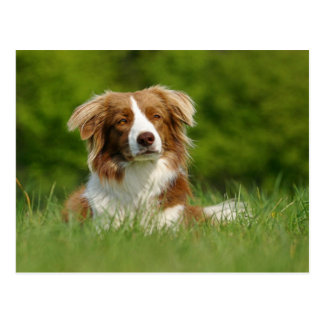 Postcard/dogs border collie portrait postcard