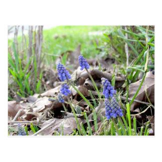 Postcard - Grape Hyacinth