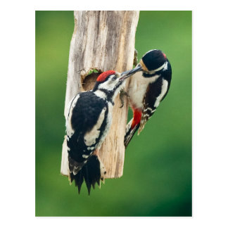 Postcard Great Spotted Woodpecker feeding young