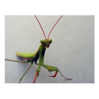 Postcard, Green Praying Mantis Insect Photo Postcard