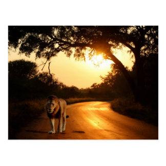 Postcard..Lion on the Road Postcard