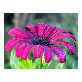 Postcard: Osteospermum (African Daisy)