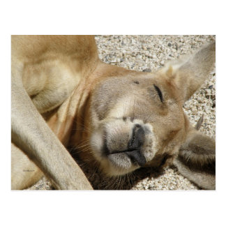 Postcard Sleeping Kangaroo QLD Australia