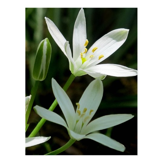 Postcard: Star-of-Bethlehem (Flower) Postcard
