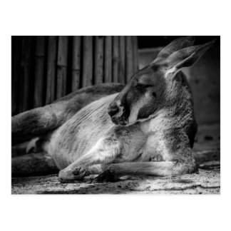 Postcard with Sleeping Kangaroo