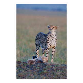 Poster - 24x36 Cheetah mother and cubs