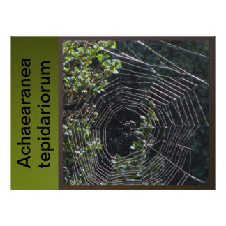 Poster - Achaearanea tepidariorum