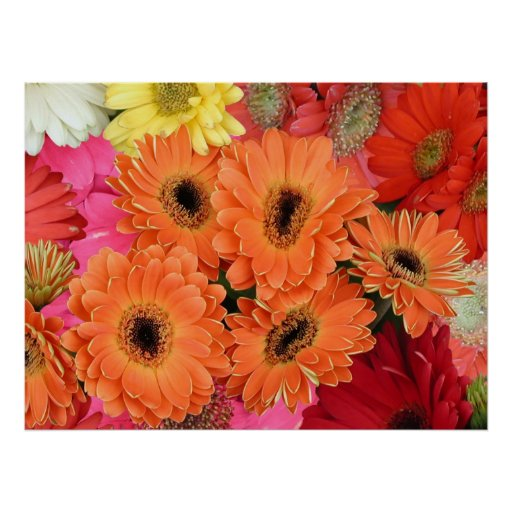Poster, African Daisies in a Riot of Color