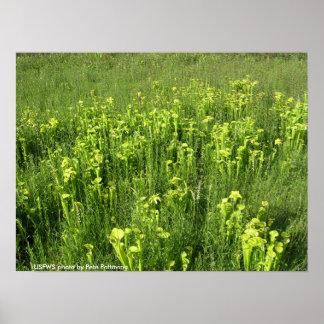 Poster Endangered Green Pitcher Plants