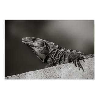 Poster - Iguana on Wall - Riviera Maya, Mexico