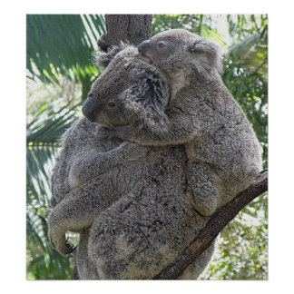 Poster Koala And Babies Australia Photo ZIZZAGO