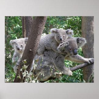 Poster Koala and Two Babies Photo Australia