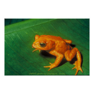 Poster / Monte Verde Toad