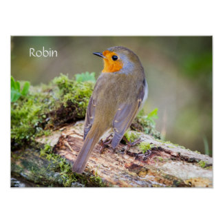Poster of European Robin on log