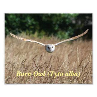 Poster of flying barn owl in flight art photo