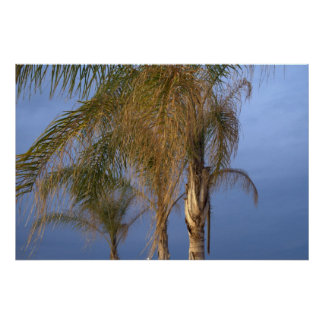Poster Palm Trees Blowing in the Summer Breeze Poster
