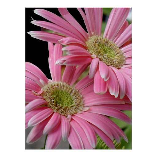 Poster, Pink African Daisies