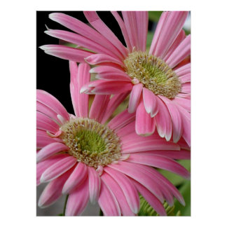 Poster, Pink African Daisies Poster