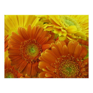 Poster Red and Orange African Daisies