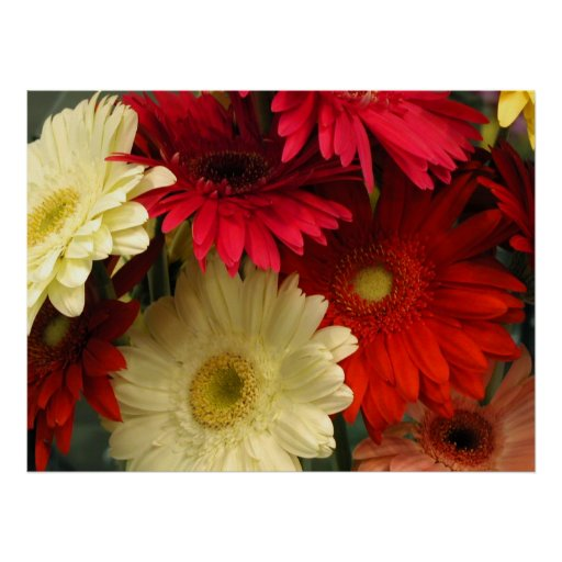 Poster, Red and White African Daisies