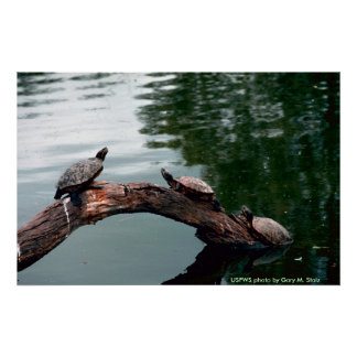 Poster / Red-eared Sliders
