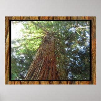 Poster - Redwood Tree
