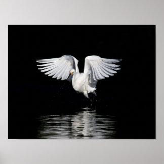 Poster - Snowy egret