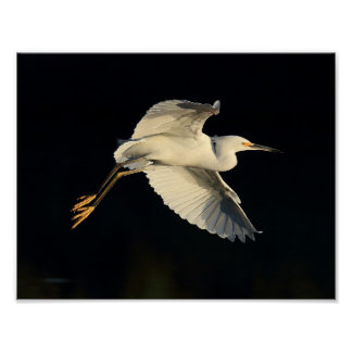 Poster - Snowy egret flyby