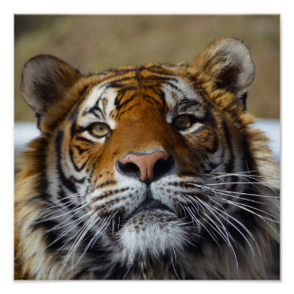 Poster with cute Bengal tiger portrait
