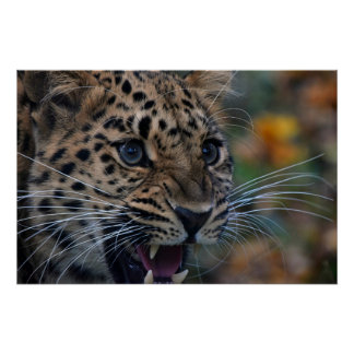 Poster with cute roaring leopard portrait