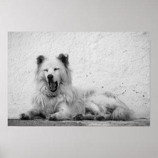 Poster - Yawning White Dog on Santorini, Greece